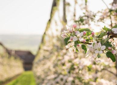 Offene Apfelblüten, idealer Zeitpunkt für die Bestäubung mit Mauerbienen.
