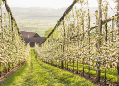 Baumreihen mit blühenden Apfelbäumen